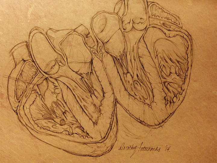 Heart Anatomy Sketch In Graphite Dorothy Fatunmbi Medical And