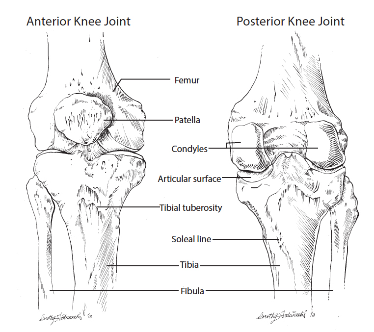 Anterior And Posterior Knee Joint Anatomy Medical Illustration Line