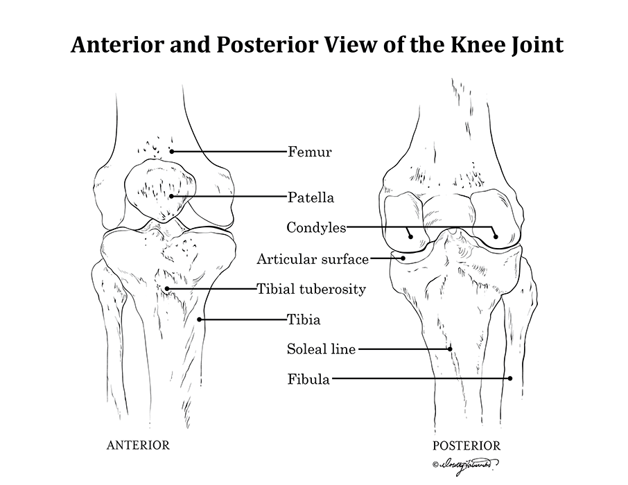 Anterior and Posterior Knee Joint Anatomy: Medical Illustration Line ...